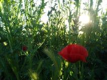A poppy in the field. Una amapola entre el trigo verde stock images