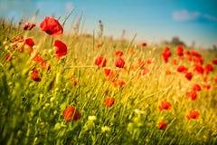 Poppy Field und blauer Himmel Lizenzfreies Stockbild