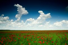 Poppy-field under sky Royalty Free Stock Image