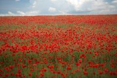 Poppy field under sky Royalty Free Stock Photography