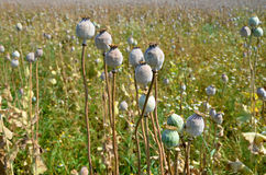 Poppy field with  unripe poppy-heads ripe opium poppy head Stock Photography