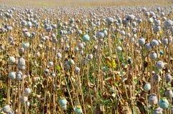 Poppy field with  unripe poppy-heads ripe opium poppy head Royalty Free Stock Image