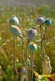 Poppy field with  unripe poppy-heads ripe opium poppy head Stock Photos
