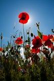 Poppy field at Warkworth Stock Image