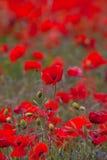 Poppy field at Warkworth Stock Photography