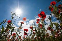 Poppy field at Warkworth stock photos