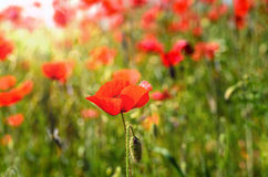 Poppy in a field on a warm summer day. Poppy field on a summer day royalty free stock photography