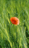 Poppy in a field of wheat. Red poppy in a field of wheat Royalty Free Stock Photos