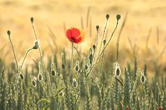 Poppy in the field of wheat on a sunnny spring morning. Close-up of fresh spring poppies on a wheat field backlit by the light of the morning sun on a spring royalty free stock images