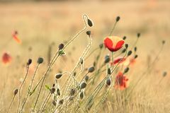 Poppy in the field of wheat on a sunnny spring morning. Close-up of fresh spring poppies on a wheat field backlit by the light of the morning sun on a spring stock images