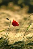 Poppy on a field of wheat at sunrise. Lonely red poppy flower on a field of wheat in the magical light of the setting sun. Shot in summer, wheat ears in the Royalty Free Stock Photo
