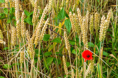 A poppy in field of wheat. Among the wheat and weeds, there is a thread of poppy Stock Images