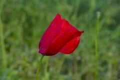 Poppy field. Wild poppy, red poppy, red weed, field weeds. Red poppy flowers in the field. royalty free stock photos