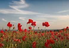 Free Poppy Field With A Blue Sky Stock Image - 137700591