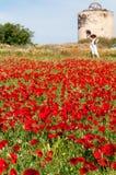 Poppy field Stock Image