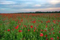 Poppy Field y cielo azul Imágenes de archivo libres de regalías