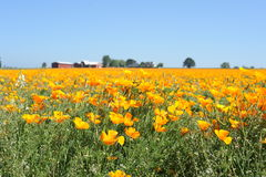 Poppy Field. Yellow flowers. Poppy field green stems red barn with a white roof blue sky Royalty Free Stock Photography