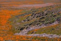 Poppy Fields 01. Poppy images from California State Poppy preserve in Lancaster, CA Stock Image