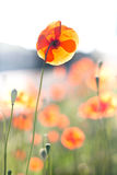 Poppy Fields Stock Photo