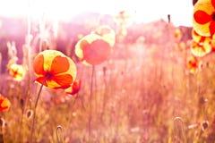 Poppy Fields Stock Image