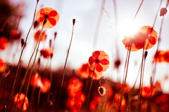 Poppy Fields Stock Photography