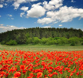 Poppy fields Royalty Free Stock Images
