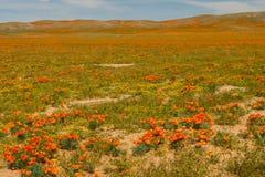Poppy Fields photo libre de droits