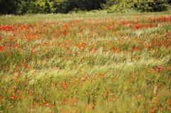 Poppy Fields Royalty-vrije Stock Foto's