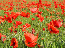 Poppy Fields Fotografie Stock
