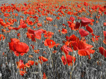 Poppy Fields Fotografia Stock