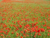 Poppy Fields Immagine Stock Libera da Diritti