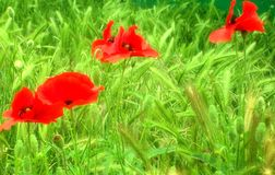 Poppy fields Royalty Free Stock Photography