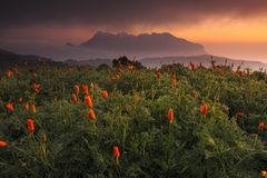 Poppy Fields, chiangmai, Thailand Royalty Free Stock Photos