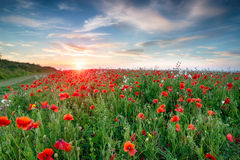 Poppy Fields in Cornwall Royalty Free Stock Photos