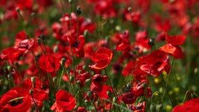 Poppy fields in Crimea royalty free stock photography