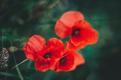 Bright red poppy Stock Images