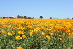 Poppy Fields. Flower Field with background farm buildings, trees and blue sky Royalty Free Stock Photos