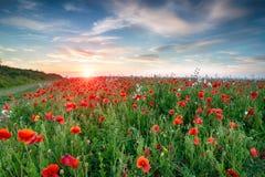 Poppy Fields i Cornwall Royaltyfria Foton