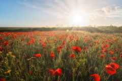 Poppy Fields In Cornwall UK With Sunlight And Sunrays Stock Photography