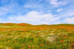 Poppy Fields sotto cielo blu con le nuvole di Whispy fotografia stock libera da diritti