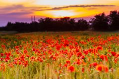 Poppy fields on sunset Stock Photography