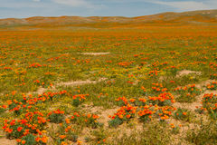 Poppy Fields Royalty Free Stock Photo
