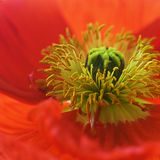 Poppy flower Stock Photos