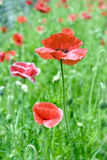 Poppy flower . Stock Photography