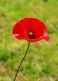 Poppy flower Stock Photos