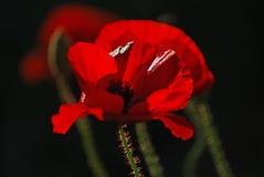 Poppy flower. Red Poppy in African garden against dark background Stock Image