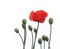 Poppy flower Stock Images