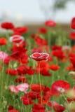 Poppy flower Royalty Free Stock Photos