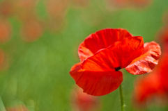 Poppy flower in bloom Royalty Free Stock Photos