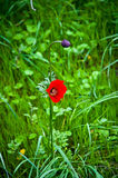 Poppy flower . Royalty Free Stock Image
